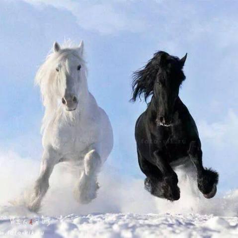 cavalli sulla neve